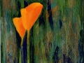 Scappoose (California) Poppies 15