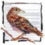 Grasshopper Sparrow, CT