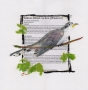 Yellow-billed Cuckoo, OR