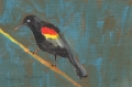 Redwing Blackbird, oil
