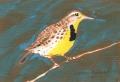 Western Meadowlark, oil