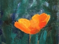 Scappoose (California) Poppies 13