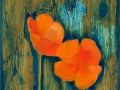 Scappoose (California) Poppies 11