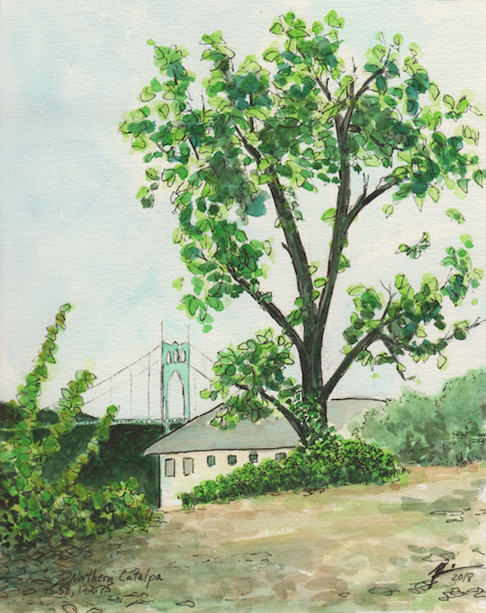 Watercolor of Northern Catalpa tree in Portland Oregon